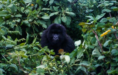 Gorillas in the Rwandan Mist